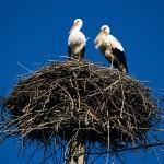 Storks in Pomurje